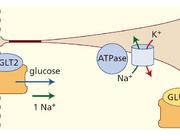 Cardiovasculaire protectie door SGLT2-remmers bij diabetes